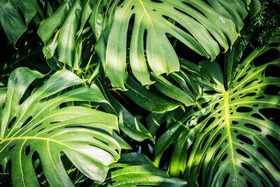 Canvastavlor Vackra gröna tropiska blad Monstera