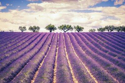 Canvastavlor Vackra lavendelfält