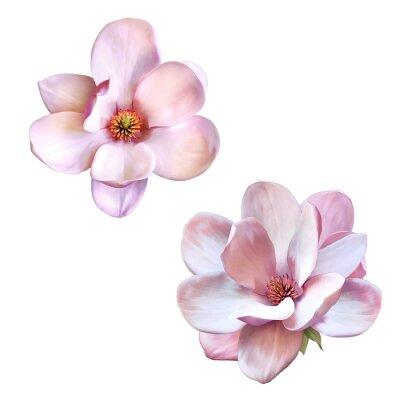 Canvastavlor vackra magnolia, Vårblomma isolerat