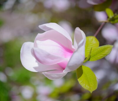 Canvastavlor Vackra rosa Magnoliablommor. Spring bakgrund
