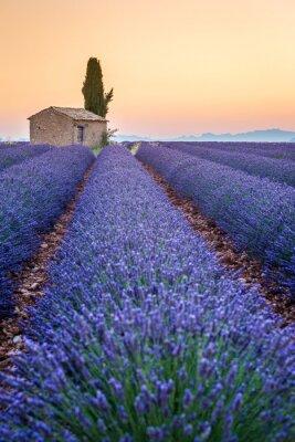Canvastavlor Valensole, Provence, Frankrike. Lavendel fält fullt av lila blommor
