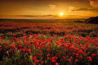 Canvastavlor Vallmo fältet vid solnedgången