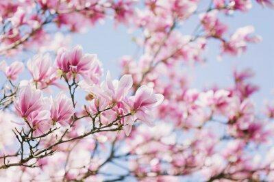 Canvastavlor Vår! Blooming Magnolia