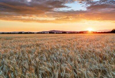Canvastavlor Vete fältet vid solnedgången