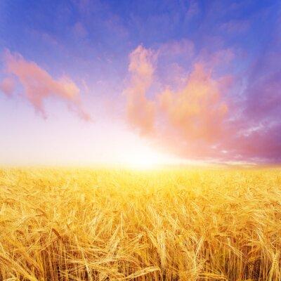 Canvastavlor vetefält i sommardag i Nya Zeeland
