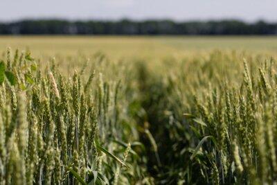 Canvastavlor vetefält på en sommardag