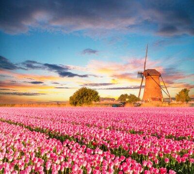 Canvastavlor Vibrerande tulpanfält med holländsk väderkvarn