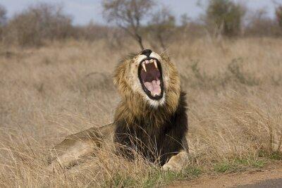Canvastavlor vilda manliga lejon gäspningar i busken