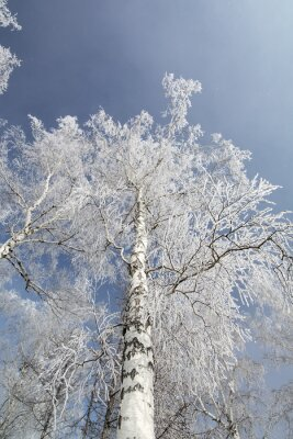 Canvastavlor Vinter björk skog