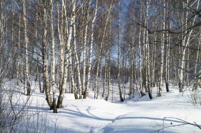 Canvastavlor Vinterlandskap med vit björk