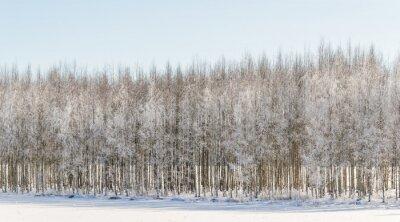 Canvastavlor Vintriga björkar i Finland