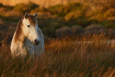 Canvastavlor Vit häst Camargue