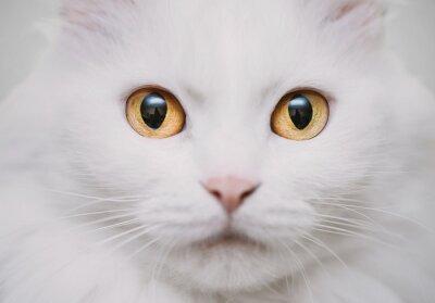 Canvastavlor vit katt