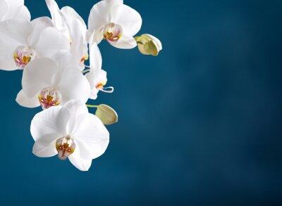 Canvastavlor vit orkidé