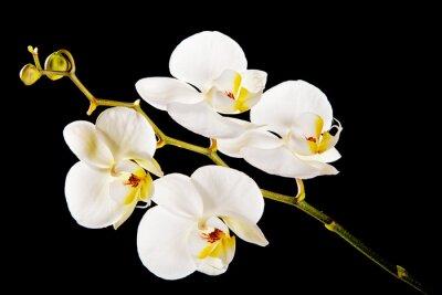 Canvastavlor Vit orkidé med gula centrum