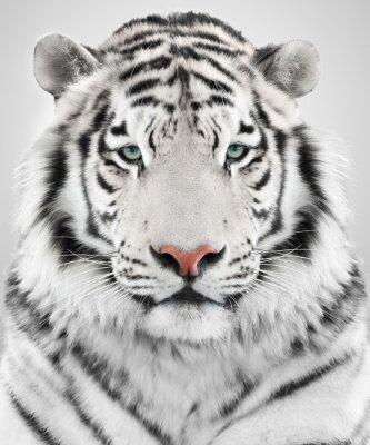 Canvastavlor Vit tiger