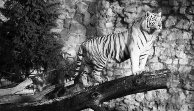 Canvastavlor Vit tiger står på en logg över ett gap (i svartvitt, vintagestil)