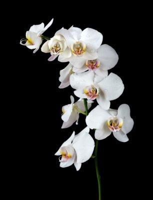 Canvastavlor White Orchid på en svart bakgrund