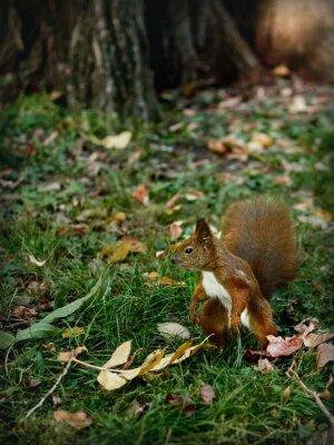Canvastavlor wiewiórka