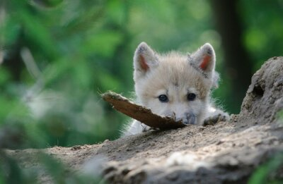 Canvastavlor wolf cub