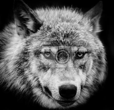 Canvastavlor Wolf ögon en svart och vitt huvud skott av en Gray Wolf.