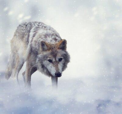 Canvastavlor Wolf På vintern