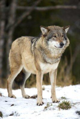 Canvastavlor Wolf står i den kalla vintern skogen