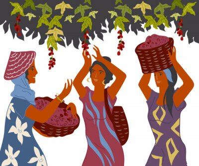 Canvastavlor Women with basket pick coffee beans from the bush on plantation, image for cafe and packaging. Coffee harvest gatherers in work flat cartoon vector illustration isolated on white background.