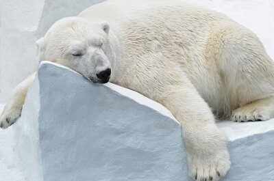 Canvastavlor Белый медведь.