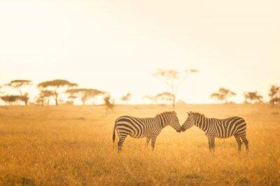 Canvastavlor Zebra Kärlek i Serengeti