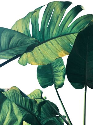 Fototapet Abstract tropical green leaves pattern on white background, lush foliage of giant golden pothos or Devil's ivy (Epipremnum aureum) the tropic plant..