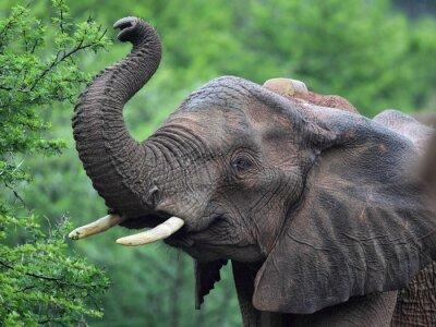 Fototapet Afrikansk elefant (Loxodonta africana)
