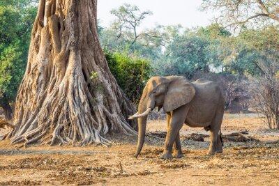 Fototapet Afrikansk elefant (Loxodonta), gick förbi ett stort träd
