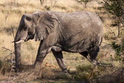 Fototapet Afrikansk elefant Vandring genom Etosha National Park, Namibia