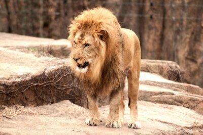 Fototapet afrikansk lion