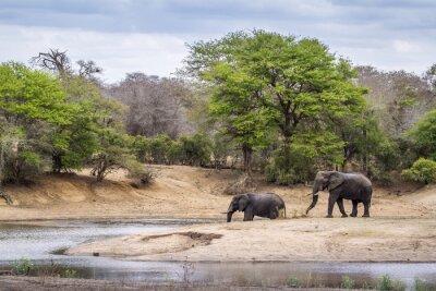 Fototapet Afrikanska bushen elefant i Kruger National Park