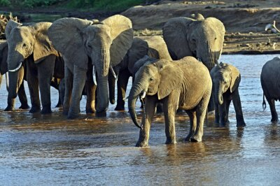 Fototapet Afrikanska elefanter i savannen