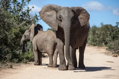 Fototapet Afrikanska elefanter i sydafrikanska Park