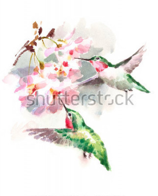 Fototapet Akvarell Fåglar Hummingbird Flying Around The Cherry Blossoms Blommor Hand Drawn Summer Garden Illustration isolerad på vit bakgrund