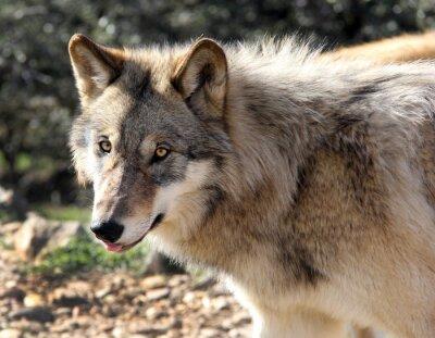 Fototapet Alaskan Gray Wolf porträtt