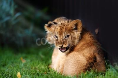 Fototapet Alert litet lejon unge med brun päls i outdoore