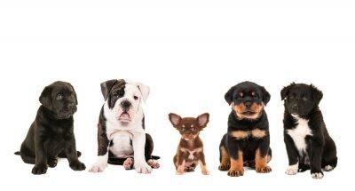 Fototapet Alla slags söta annan ras av valp hundar isolerad på en vit bakgrund, som en chihuahua, rottweiler, border collie, labrador och en engelsk bulldogg