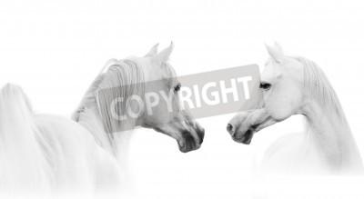 Fototapet arabisk vit häst