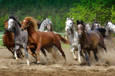 Fototapet Arabiska hästar galopp