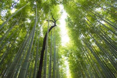 Fototapet Arashiyama bambuskog i Kyoto Japan