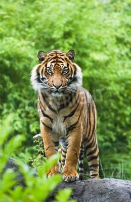 Fototapet Asian- eller bengal tiger står med bambu buskar i bakgrunden