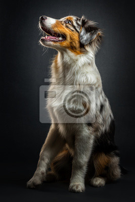 Fototapet australian shepherd valp