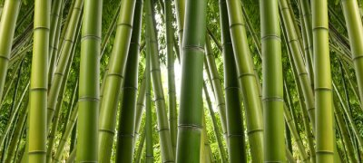 Fototapet Bamboo Jungle