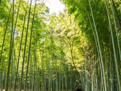 Fototapet bambu bana
