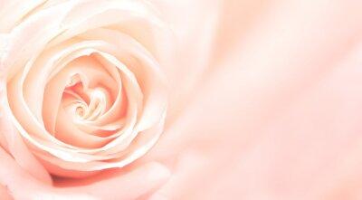 Fototapet Banner med rosa ros